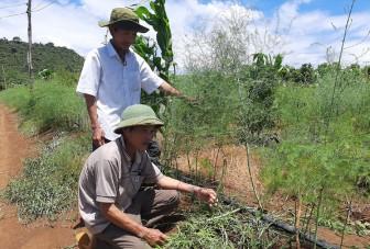 Phú Yên: 10 năm trồng tiêu không khá, 3 năm trồng rau lạ lại rủng rỉnh tiền tiêu