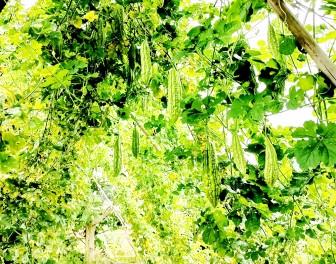 Hiệu quả mô hình trồng cây khổ qua ghép gốc mướp