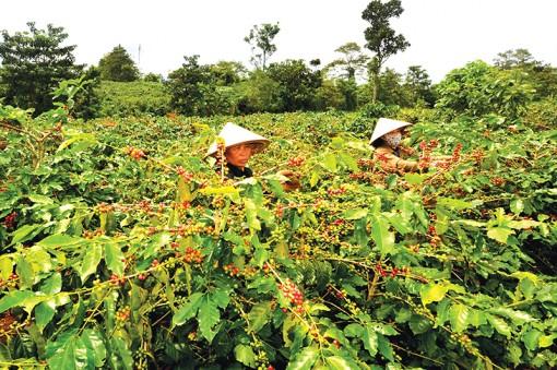 Tái canh cây cà phê theo hướng sản xuất hữu cơ