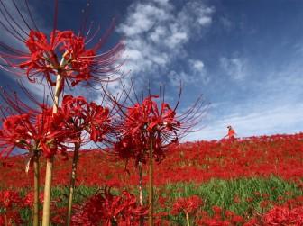 Cảnh sắc đẹp như tranh vẽ của mùa hoa bỉ ngạn nở đỏ rực trời Nhật Bản