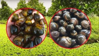 Giá mít Thái: Tận dụng mít dạt, mít xơ đen nuôi ốc bươu đen, bán ốc đắt tiền hơn bán mít