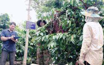 Công nhận vùng sản xuất cà-phê ứng dụng công nghệ cao đầu tiên ở Đắk Nông