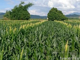 Đắk Nông: Trồng giống ngô mới, chỉ một vụ nông dân thu 50 triệu đồng/ha