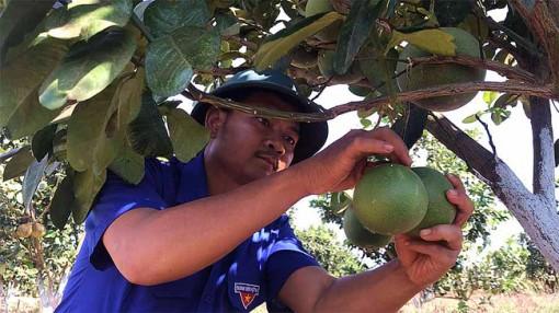 Chán hồ tiêu, cao su, một nông dân ở Gia Lai trồng cây ăn quả và dược liệu VietGAP thu tiền tỷ