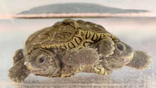 Phát hiện rùa kim cương hai đầu hiếm gặp tại Mỹ