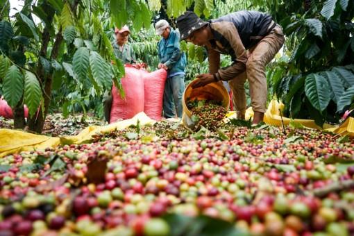 """Giá cà phê biến động tăng """"dữ dội"""", xuất khẩu bội thu 2,23 tỷ USD"""
