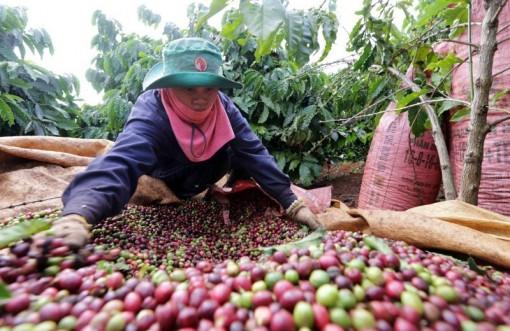 Giá cà phê tăng phi mã, doanh nghiệp chật vật giải phóng hàng tồn, giá tiêu lấy lại đà tăng