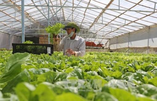 Rau Đà Lạt tăng giá gấp đôi, hoa tiêu thụ mạnh