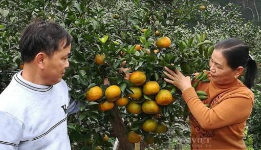Nghệ An: Cam bù Sen vào mùa, nông dân làng trên xóm dưới rộn ràng bàn chuyện... lên sàn